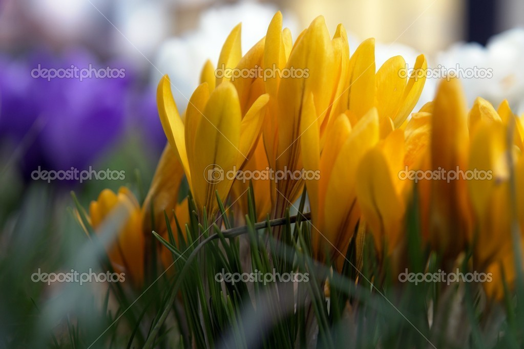 Yellow crocuses blooming in the garden — Stock Photo #2765817