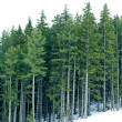 Stock Photo: Conifer trees