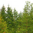 Stock Photo: Evergreen wood