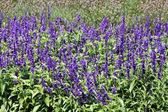 Purple flowers field — Stock Photo