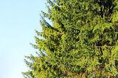 Evergreen tree — Stock Photo
