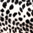 Stock Photo: White leopard