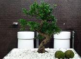 Banho de bonsai — Foto Stock