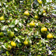 Pear tree — Stock Photo #3469133