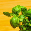 Royalty-Free Stock Photo: Basil leaves