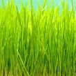Wheat grass — Stock Photo #3574108