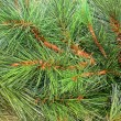 Pine needles pattern - Stockfoto