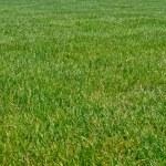 Big grass — Stock Photo #3633717