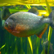 Piranha — Photo