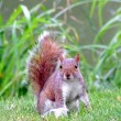 Squirrel tail — Stock Photo