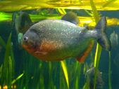 Piranha — 图库照片