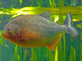 Piranha closeup — Stock Photo