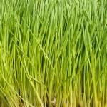 Wheat grass — Stock Photo #3788490