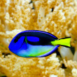 Regal tang - Stock Photo