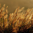 Stock Photo: Wild Grasses