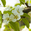 Pear blossom — Stock Photo