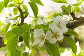 Pear blossom — Стоковое фото
