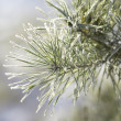 Frosted pine tree — Stock Photo #2806171