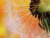 Colourfull dandelion — Stock Photo