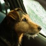 hund, väntar i frostat bilen — Stock fotografie