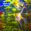 Tropical freshwater aquarium - Stock Photo
