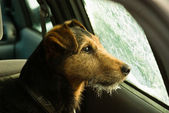 Dog, waiting in the frosted car — Stock Photo