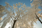 Frosted forest — Stock Photo