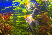 Tropical freshwater aquarium — Stock Photo