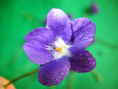 Violet Dew — Stock Photo
