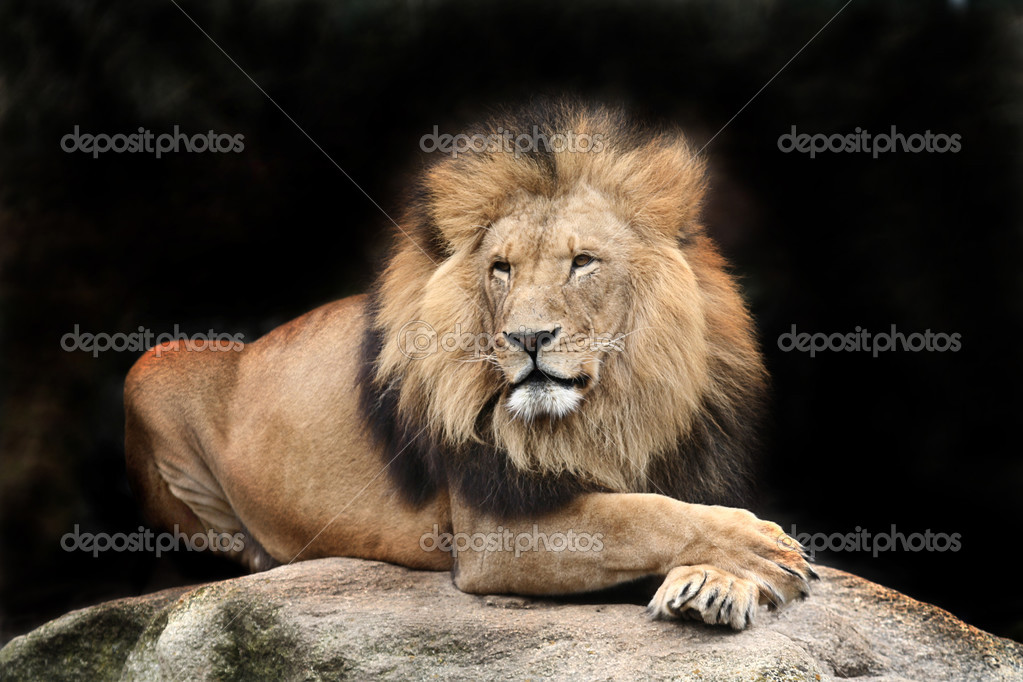 Portrait of a big male African lion  Foto Stock #2731429