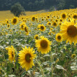 SUNFLOWERS — Stock Photo #2867481