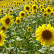 SUNFLOWERS — Stock Photo #2867561