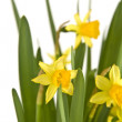 Daffodiles — Stock Photo