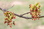 Maple flowers — Stock Photo