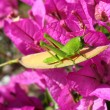 Green Grasshopper and Bougainvillea -  