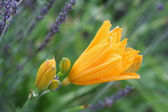 A Single Day Lilly Among Lavendar — Stockfoto