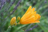 Een enkele dag lilly onder lavendar — Stockfoto