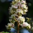 Chestnut blossom — Stock Photo