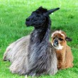 Stock Photo: Alpacfamily