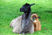 Alpaca family — Stock Photo