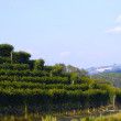 Vineyard — Stock Photo #2715713