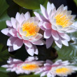 Stock Photo: Waterlilies