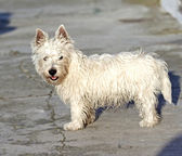 West Highlands Terrier — Stock Photo