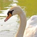 Swan — Stock Photo #3485489