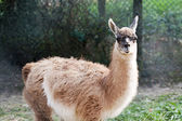 Lama — Stock Photo