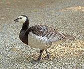 Duck — Stock Photo