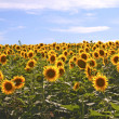 Sunflowers — Stock Photo #3560413