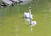 Mother and little swan — Stock Photo