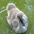 Young swan — Stock Photo #3720243