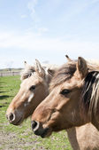 Dos caballos — Foto de Stock